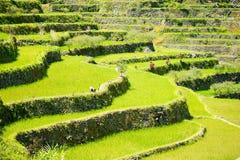 Πεζούλια ρυζιού στις Φιλιππίνες Καλλιέργεια ρυζιού στο Βορρά Στοκ Φωτογραφία