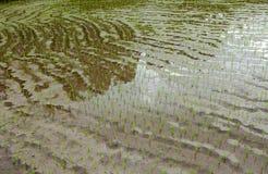 πεζούλια ρυζιού του Μπα&la Στοκ εικόνα με δικαίωμα ελεύθερης χρήσης
