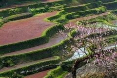 Πεζούλια ρυζιού Hani Στοκ Εικόνες