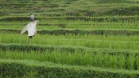 Πεζούλια τομέων ρυζιού Στοκ εικόνες με δικαίωμα ελεύθερης χρήσης