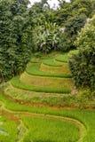 Πεζούλι τομέων ρυζιού Στοκ Εικόνες