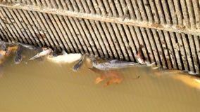 Πεθαμένες γατόψαρο, πέστροφες και άλλες στο δηλητηριασμένο νερό του αγροκτήματος ψαριών Οι οργανισμοί θανάτου κολυμπούν στους φρα φιλμ μικρού μήκους