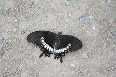 Πεθαμένη μαύρη πεταλούδα στο έδαφος στοκ εικόνες