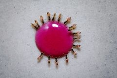 Πεινασμένα μυρμήγκια που τρώνε συλλογικά από μια πτώση της πτώσης σιροπιού ζάχαρης στοκ φωτογραφίες με δικαίωμα ελεύθερης χρήσης