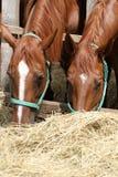 Πεινασμένα νέα άλογα σελών που τρώνε το σανό στο αγρόκτημα Στοκ Εικόνα
