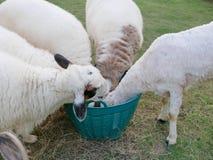 Πεινασμένα πρόβατα που τρώνε τις χλόες από το ίδιο καλάθι στοκ εικόνες με δικαίωμα ελεύθερης χρήσης