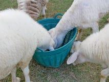 Πεινασμένα πρόβατα που τρώνε τις χλόες από το ίδιο καλάθι στοκ εικόνα με δικαίωμα ελεύθερης χρήσης