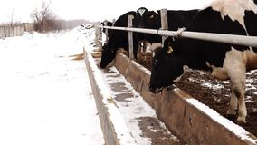 Πεινασμένες αγελάδες στο αγρόκτημα που ψάχνει τα τρόφιμα στον τροφοδότη φιλμ μικρού μήκους
