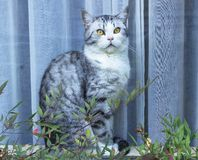 Πεινασμένη γάτα με τα πράσινα μάτια που περιμένουν τα τρόφιμα στοκ εικόνες
