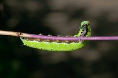 Πεινασμένη κατανάλωση Caterpillar Στοκ εικόνες με δικαίωμα ελεύθερης χρήσης
