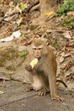 Πεινασμένη συνεδρίαση πιθήκων που τρώει κίτρινα φρούτα Στοκ Φωτογραφίες
