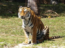 πεινασμένη τίγρη στοκ φωτογραφίες με δικαίωμα ελεύθερης χρήσης