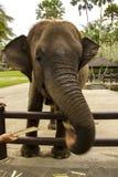 Πεινασμένος ελέφαντας στοκ φωτογραφίες
