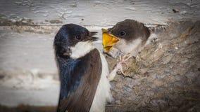 Πεινασμένος νεοσσός που ταΐζεται Στοκ Εικόνες