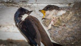Πεινασμένος νεοσσός που ταΐζεται Στοκ εικόνα με δικαίωμα ελεύθερης χρήσης