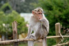 Πεινασμένος πίθηκος που έχει το φρέσκο καρότο Στοκ Εικόνα