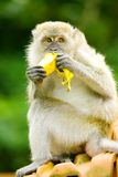 πεινασμένος πίθηκος Στοκ Εικόνα