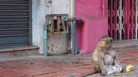 πεινασμένος πίθηκος Στοκ Εικόνες