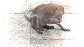 πεινασμένος πίθηκος Στοκ Φωτογραφίες