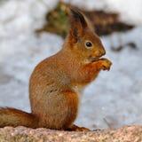 πεινασμένος σκίουρος στοκ εικόνα
