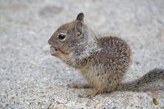 πεινασμένος σκίουρος Στοκ Φωτογραφίες