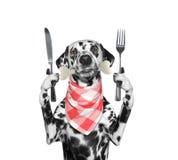 Πεινασμένο δαλματικό σκυλί με το μαχαίρι, το δίκρανο και το κόκκαλο στο στόμα του Απομονωμένος στο λευκό στοκ εικόνα