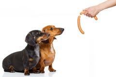 Πεινασμένο ζεύγος του dachshund με την απόλαυση Στοκ Εικόνες