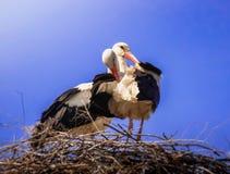 Πελαργοί στη φωλιά του στο μπλε ουρανό ελεύθερη απεικόνιση δικαιώματος