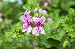 Πελαργόνιο graveolens στην άνθιση, διακοσμητικά λουλούδια Στοκ φωτογραφίες με δικαίωμα ελεύθερης χρήσης