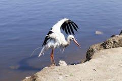 Πελαργός χωρίς φτερά Στοκ Φωτογραφία