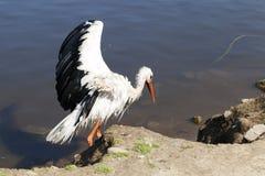 Πελαργός χωρίς φτερά Στοκ εικόνες με δικαίωμα ελεύθερης χρήσης