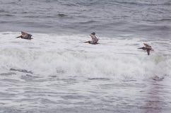 Πελεκάνοι που πετούν πέρα από τα κύματα στις εξωτερικές τράπεζες Στοκ εικόνες με δικαίωμα ελεύθερης χρήσης