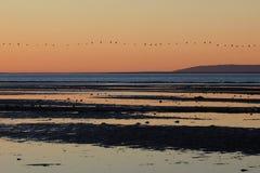Πελεκάνοι στο ηλιοβασίλεμα στον κόλπο του SAN Ηγνάτιος Lagoon, Μπάχα Καλιφόρνια, Μεξικό Στοκ Εικόνα
