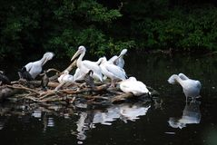 Πελεκάνος λατινικό Pelecanus ※ το γένος των πουλιών μόνο στην οικογένεια pelikanovy Pelecanidae της ομάδας pelikanoobrazny στοκ εικόνα