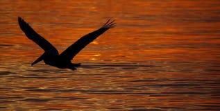 πελεκάνος πουλιών Στοκ Εικόνες