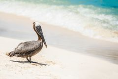 Πελεκάνος που παρατηρεί την καραϊβική θάλασσα σε μια παραλία Cancun Στοκ φωτογραφία με δικαίωμα ελεύθερης χρήσης