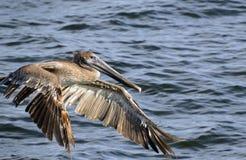 Πελεκάνος που πετά επάνω από τον ωκεανό Στοκ Εικόνα