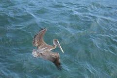 Πελεκάνος που πετά επάνω από τον ωκεανό Στοκ Φωτογραφία