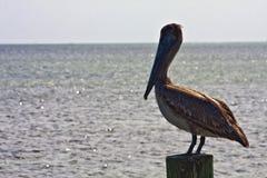 Πελεκάνος σε μια θέση στους Florida Keys Στοκ εικόνες με δικαίωμα ελεύθερης χρήσης