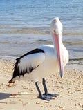 Πελεκάνος στην παραλία στο νησί bribie Στοκ εικόνα με δικαίωμα ελεύθερης χρήσης