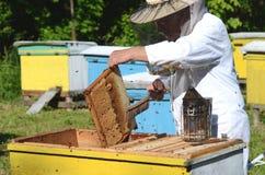 Πεπειραμένο ανώτερο apiarist που αποκόπτει το κομμάτι της κηρήθρας προνυμφών στο μελισσουργείο Στοκ Φωτογραφία