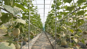 Πεπόνι στο πράσινο αγρόκτημα σπιτιών απόθεμα βίντεο