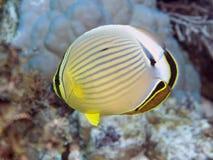 Πεπόνι butterflyfish Στοκ Φωτογραφία