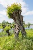 Περίεργα αυξημένη ιτιά κλαδεμένων δέντρων στοκ εικόνες