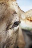 Περίεργα βοοειδή Στοκ Εικόνες