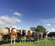 Περίεργα βοοειδή Στοκ Εικόνα