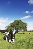 Περίεργα βοοειδή Στοκ φωτογραφία με δικαίωμα ελεύθερης χρήσης