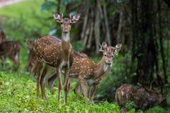 Περίεργα επισημασμένα deers Στοκ Φωτογραφίες