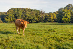 Περίεργα νέα ανοικτό καφέ αγελάδα στοκ εικόνα