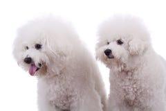 περίεργα σκυλιά Στοκ Φωτογραφία